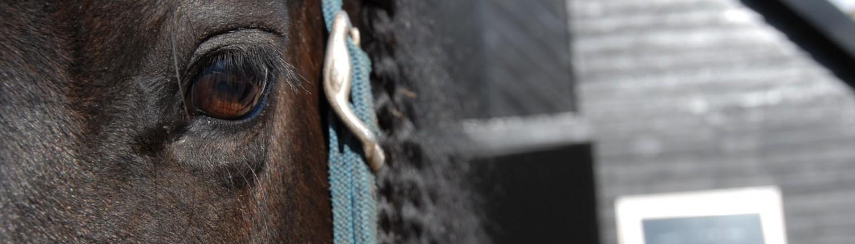 Fries paard buitenvakantie Veluwe